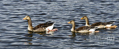 Goose Family Print by Ursula Gill