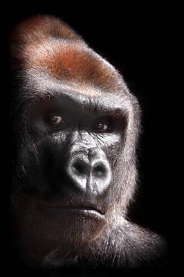 Gorilla Photograph - Gorilla ... Kouillou by Stephie Butler