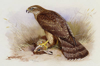 Falcon Drawing - Goshawk by Archibald Thorburn