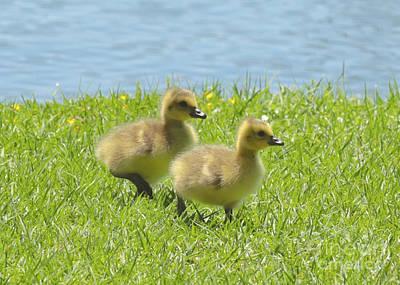 Animals Photograph - Goslings Walk Along by Carol Groenen