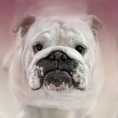 Bulldog Photograph - Got Treat? by Jai Johnson