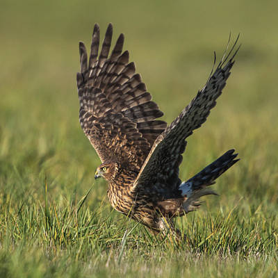 Northern Harrier Photograph - Graceful Departure by Angie Vogel