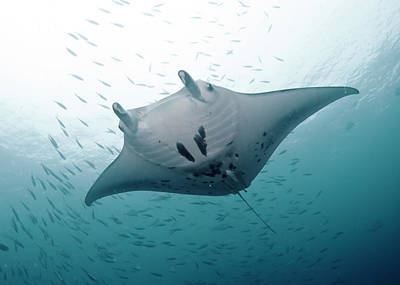 Undersea Photograph - Graceful Manta by Wendy A. Capili