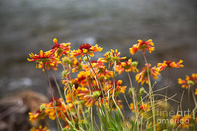 Graceful Wishes Methow Valley Flowers By Omashte Print by Omaste Witkowski
