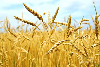 Food Photograph - Grain Field by Elena Elisseeva