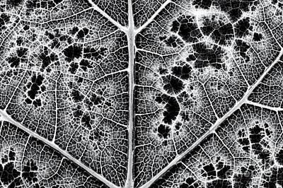 Grapevines Photograph - Grape Leaf Monochrome by Tim Gainey