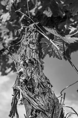 Grapevine Photograph - Grape Vine In Mono by Georgia Fowler