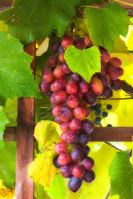 Grape Vine Print by Utah Images