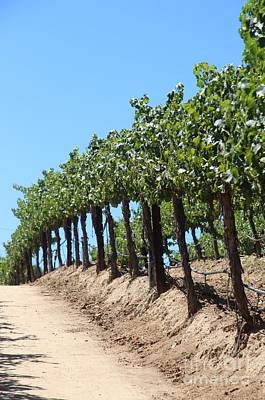 Cabernet Photograph - Grape Vineyard by Anthony Jones