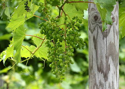 Winery Photograph - Ripe For The Picking by Brian Manfra