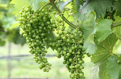 Winery Photograph - Green Vineyard Grapes by Brian Manfra