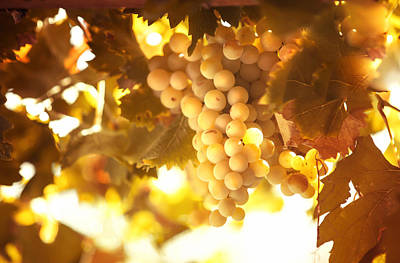 Grapevine Photograph - Grapes Filled With Sun by Jenny Rainbow
