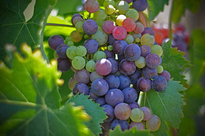 Winery Photograph - Grapes by Kelly Wade