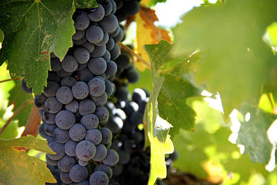 Pinot Noir Photograph - Grapes by Nancy Ingersoll