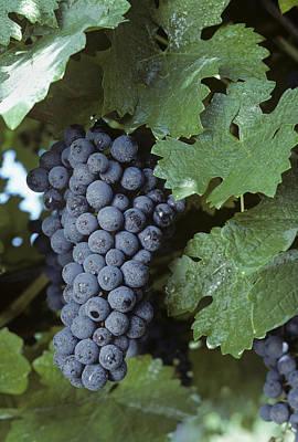 Grapes On The Vine Print by Kenneth Garrett
