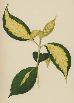 Garden Drawing - Graptophyllum Pictum by English School