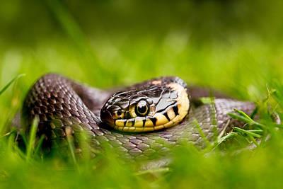 Grass Snake - Natrix Natrix Print by Roeselien Raimond