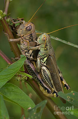 Grasshopper Sex Print by Warren Sarle