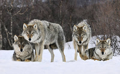 Full Length Photograph - Gray Wolf Canis Lupus Group, Norway by Jasper Doest