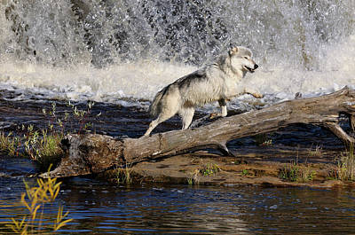Wolf Photograph - Gray Wolf Jumping Under A Waterfall On The Kettle River Banning  by Reimar Gaertner
