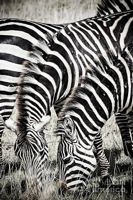 Grazing Zebras Close Up Print by Darcy Michaelchuk