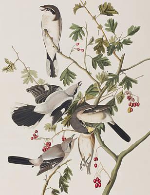 Great Drawing - Great American Shrike by John James Audubon