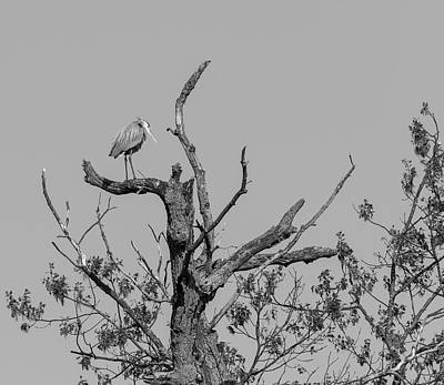 Photograph - Great Blue Heron 2016-1 by Thomas Young