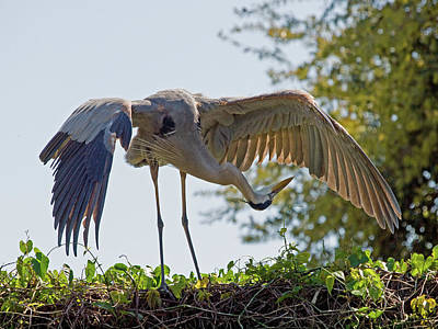 Birds Photograph - Great Blue Heron Checks Its Undercarrriage by Phil Stone