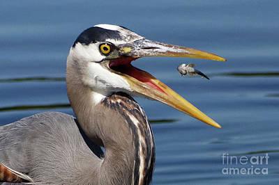 Birds Painting - Great Blue Heron Closeup by Sue Harper