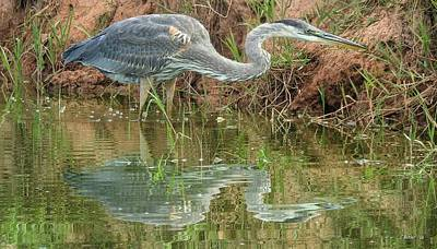 Desert Photograph - Great Blue Heron Fishing by Casey Butler