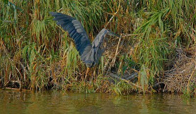 Great Blue Heron Hunting In The Lake Print by Roy Williams