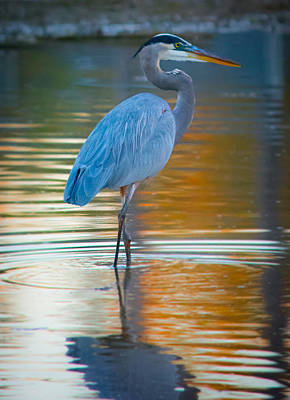 Orange Photograph - Great Blue Heron In An Autumn Pond by Parker Cunningham