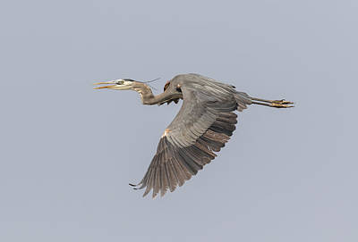 Tommytrout Photograph - Great Blue Heron In Flight 2015-4 by Thomas Young