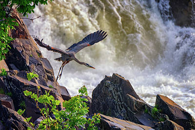 Great Blue Heron In Flight Print by Rick Berk
