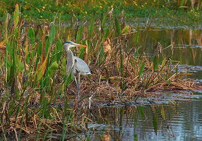 Circle B Bar Photograph - Great Blue Heron On Alert by Bill Chambers