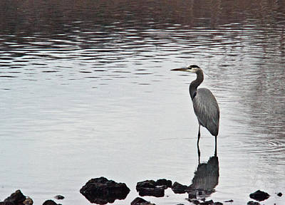 Great Blue Heron Wading 3 Print by Douglas Barnett