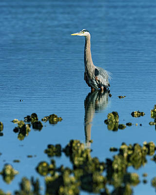 Great Blue Heron Wading Print by Gary Langley