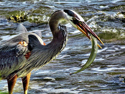 Great Blue Heron With A Fish Print by John Trommer