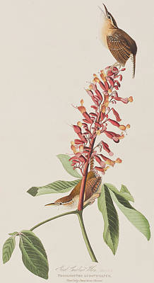 Wren Painting - Great Carolina Wren by John James Audubon