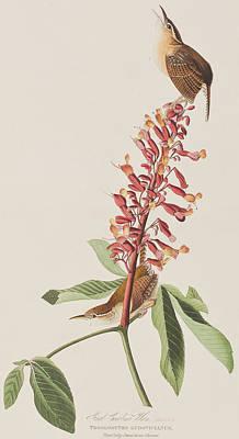 Twig Drawing - Great Carolina Wren by John James Audubon