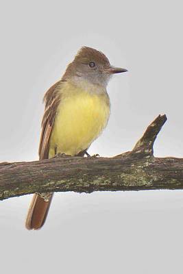 Great Crested Flycatcher Original by Alan Lenk