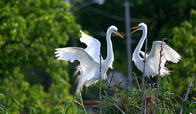 Great Egrets - Hey Lets Get Together Print by Roy Williams