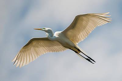 Great Egret In Flight - St. Augustine Fl Print by Dave Allen