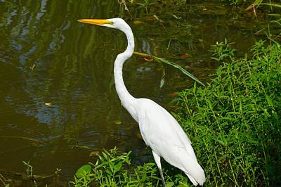 Great Egret Of Louisiana Print by D S Images