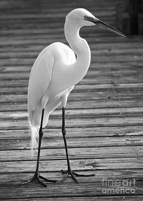 Great White Egret Photograph - Great Egret On The Pier - Black And White by Carol Groenen