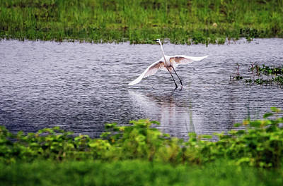 Great Egret Taking Off Print by Vishwanath Bhat