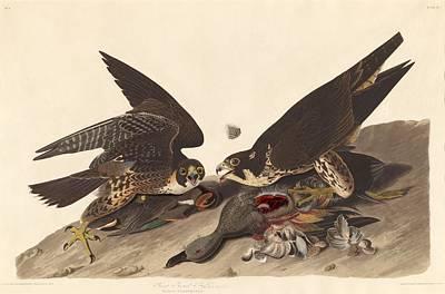 Hawk Drawing - Great Footed Hawk by John James Audubon
