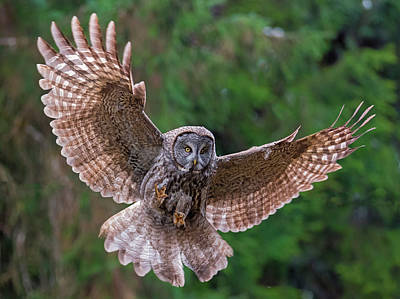 Owl In Flight Photograph - Great Gray Owl Swoop by Loree Johnson
