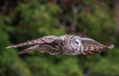 Owl In Flight Photograph - Great Grey Owl In Flight by Loree Johnson