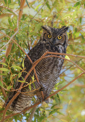 Great Horned Owl At Summer Lake Print by Angie Vogel